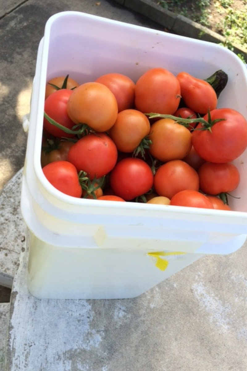 Bucket of Tomatoes